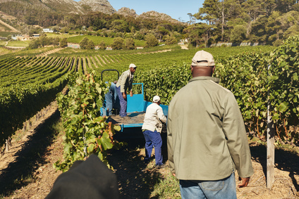 Vineyard workers transporting grapes to winery